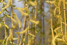 Catkins Of A Weeping Willow Tree.