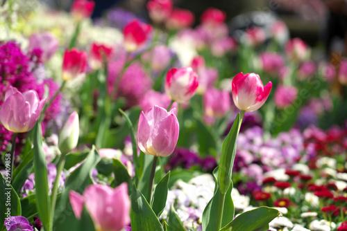 Fototapeta 春・チューリップの花 obraz na płótnie