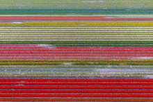 Fields With Tulips In The Spri...