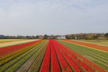 Fields With Tulips In Spring, Netherlands