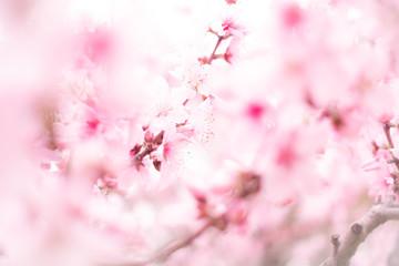 桜のカーテン