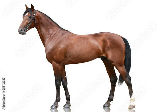 Photographie The beautiful brown sport horse  standing isolated on white background