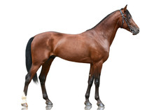 The Beautiful Bay Sport Horse  Standing Isolated On White Background. Side View