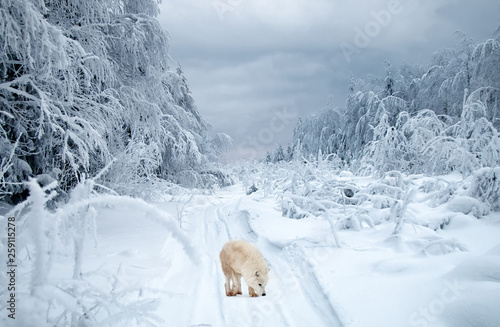 Fotografie, Obraz Polar wolf in the taiga