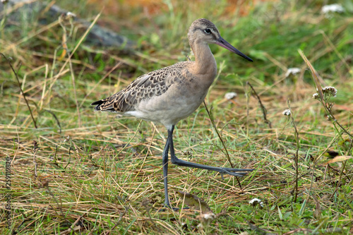 Tablou Canvas Black-tailed godwit (Limosa limosa), a young bird
