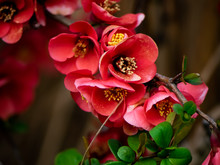 Deep Red Chinese Quince Flower...