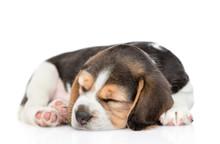 Beagle Puppy Sleeping Curled Up.  Isolated On White Background