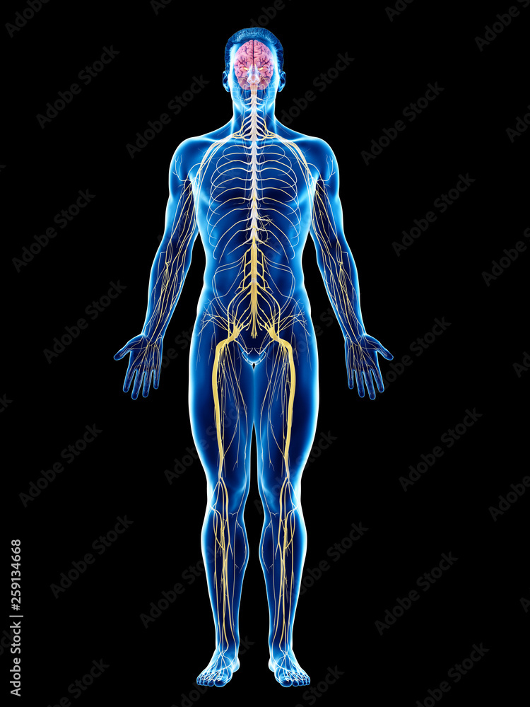 Fototapeta 3d rendered medically accurate illustration of a mans nervous system