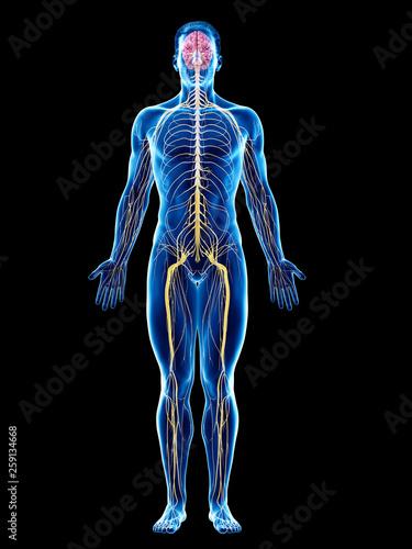Fototapeta 3d rendered medically accurate illustration of a mans nervous system obraz