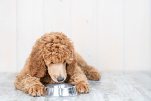 Poodle Puppy Eating Food From Dish At Home. Empty Space For Text