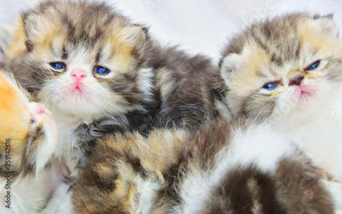 cute persian baby kitten