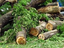 Pile Of Cut Big Tree In Garden