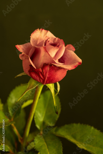 Fototapeta Color fine art still life floral macro portrait of a single isolated red rose blossom with green leaves in vintage painting style on dark green olive background obraz