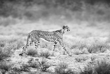 Female Cheetah Slowly Stalking Potential Prey Early In The Morning To Feed Its Young. Black And White. Acinonyx Jubatus