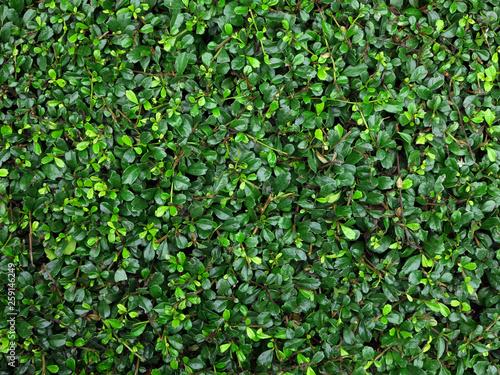 Slika na platnu fresh green leaf bush texture