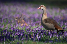 Egyptian Goose In A Field Of C...