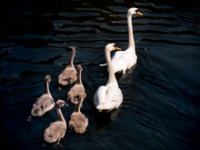 Swan Family Cygnets