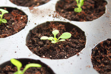 Seedlings Of Petunia. Close-up. Background.