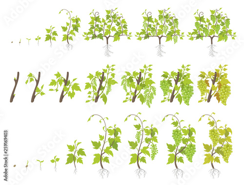 Growth stages of grape plant. Vineyard planting increase phases. Vector illustration. Vitis vinifera harvested. Ripening period. The life cycle. Grapes on white background. Fototapete
