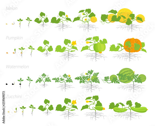 Set of cucurbitaceae plants growth animation. Pumpkin melon and watermelon zucchini or courgette plant. Vector infographics showing the progression growing plants. Wall mural