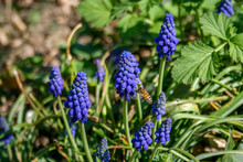 Muscari Botryoides Commonly Known As Grape Hyacinth, Purple Flower With Bee And Green Grass