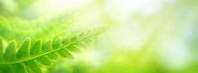 Beautiful Natural Background Border With Fresh Juicy Light Green Foliage Of Fern In Sunlight In Spring Summer And Defocused Bokeh Outdoors In Nature, Panorama, Copy Space.