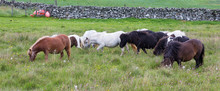 Herd Of Shetland Ponies With L...