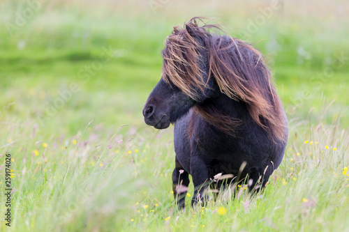 Photo Single Shetland Pony with long hair standing in wind on short grass