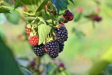 Organic Juicy Fresh Blackberries On A Branch And Blurred Green Leaves. Bush With Beautiful Ripening Blackberry Berries. Many Delicious Sweet Black Berry And Unripe Red Berries In The Garden.