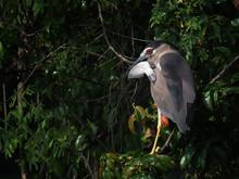 Black-crowned Night Heron Eats Fish