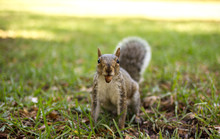 Squirrel In A Green Park With ...