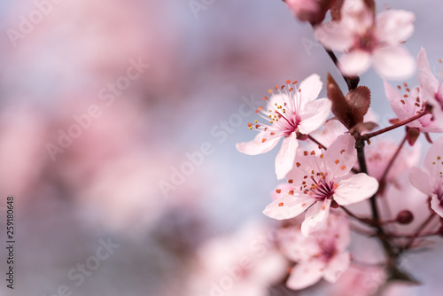 branch with cherry blossoms in detail and blurred background