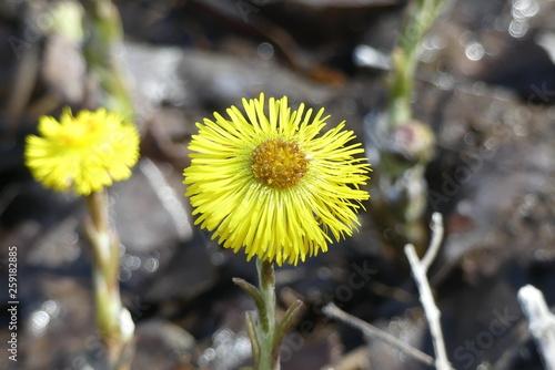 Fényképezés Flower. Coltsfoot flower. Tussilago farfara.