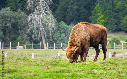 European bison grazing in a reservation located in the Carpathian Mountains, Romania, Eastern Europe Canvas Print