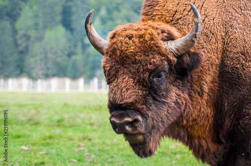 Fényképezés  European bison ( Bison bonasus) close up details of the head with big horns and thick brown fur