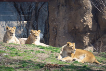 Lions Resting In Zoo