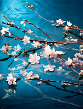 Cherry Blossom Flowers Growing Over Water