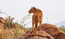 "Lioness, Female Lion, ""Panthera Leo"" Stands On Rocks, Rear View With Head Profile. Samburu National Reserve, Kenya, Africa. Wild Predator In Natural Environment"