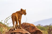 Lioness Lion Panthera Leo Stan...