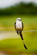 Scissor-tailed Flycatcher Rest...