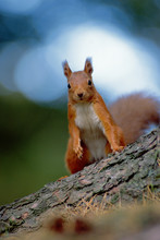 Portrait Of Red Squirrel On Tr...