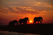 Silhouette of African elephants walking during sunset