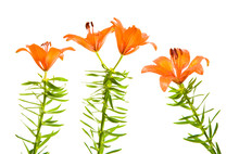 Orange Lily Against White Back...