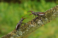 Stag Beetle On Tree Branch