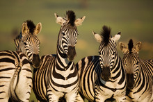 Group Of Common Zebra Standing Outdoors