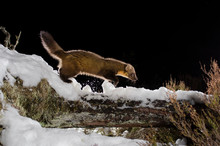Pine Marten Walking On Snow Co...