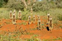 Meerkats Standing On Grassy Landscape Outdoors