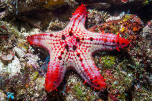 Red And White Honeycomb Starfish In Sea