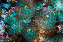 Disc Anemone In Sea