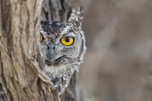 Portrait Of Spotted Eagle Owl Looking Out From Tree Trunk